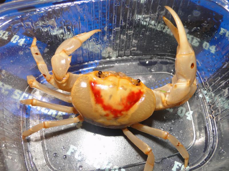 Les crabes chez Malanyika Attachment